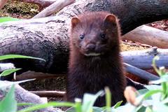 Mink 1 (Lois McNaught) Tags: family summer ontario canada nature animal outdoor wildlife hamilton mink