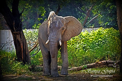 African Elephant (sanyagupta09) Tags: elephant nature animal animals photography niceshot walk animallover wildlife exploring photooftheday naturelover adventurous wildlifephotography