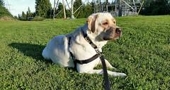 Gracie looking very focused (walneylad) Tags: gracie dog canine puppy pet lab labrador labradorretriever cute summer july