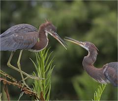 Dueling Siblings (billkominsky ) Tags: naturethroughthelens ngc