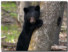 Black Bear at Shenandoah (Betty Vlasiu) Tags: black bear shenandoah nature wildlife animal america am