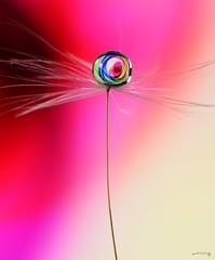 Somtimes simplicity is the best (Anne Rusten) Tags: nikond7000 waterdroplet drop dandelionseed dandelion dandelionart refraction pastel macro colours seed focusstacking focusstack indoor