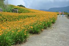 Daylilies in Chihkeshan  -Hualien-Taiwan (Little Henry) Tags: flower mountain landscape taiwan hualien vegetation yellow sunny summer hiking hemerocalliscitrina daylilies
