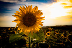 Sunflower (Christian He) Tags: ernstbrunn outdoor natur blume sonnenblume sonnenuntergang sonne canon 80d 2470 sterreich pflanze