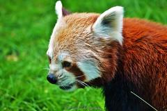 Korkeasaari - Panda roux (Elena Delahaye) Tags: finland nature helsinki island sea north scandinavia suomi