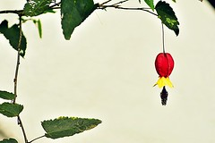 one and only (doods-sososo slow :-o) Tags: abutilonmegapotamicum chineselantern flower shrub leaves green red yellow black white garden