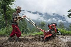 Farmer Jhalak Bhandari uses a mini tiller to puddle his field for transplanting rice in Thulochaur, Sindhupalchok. (CIMMYT) Tags: nepal csisa cimmyt maize agriculture smallholder farmer mechanization asia