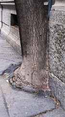 survival (omnia_mutantur) Tags: street strada calle rua rue albero arbol arbre arbore tree tronco rvore tronc trunk natura nature natureza naturaleza milano milan italia italy italie