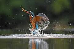 Kingfisher in Action - Explored #172 - 18/8/16 (DaisyDeeM) Tags: kingfisher action blue orange bird nature water wings