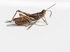 Field Grasshopper on window sill (dave p brecks) Tags: fieldgrasshopper invertebrates olympus60mmmacro olympus em10 markii