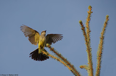 Western Kingbird (walkerross42) Tags: bird kingbird spruce tree wings montpelier idaho