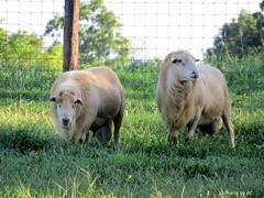 Boy's Day Off. (~~BC's~~Photographs~~) Tags: bcsphotographs canonsx50 sheep aroundthefarm summer hff kentuckyphotos ourworldinphotosgroup earthwindandfiregroup explorekentucky fencefridaygroup
