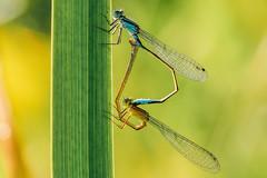Groe Pechlibelle (Ischnura elegans) ___  /  Weibchen mit Altersform (infuscans-obsoleta) (grus antigone) Tags: dragonfly libelle makro macro sigma105mm olympus em1