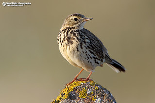 Meadow Pipit,  Anthus pratensis. North Uist, Outer Hebrides.