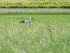 20160822-094258-00066-SD-_DSF2346-01 (Sascha Deuringer (dtox72)) Tags: langenauerried storch
