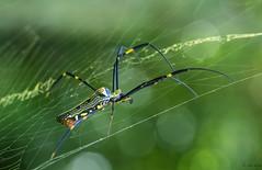 Hanging on (melnikor) Tags: malaysia macro kelantan spider aran nephila golden web silk orb weaver kota bharu natural light bokeh leehuaming