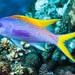 Yellowback Anthias - Pseudanthias evansi