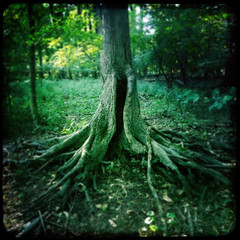 Alice doesn't live here anymore (Creepella Gruesome) Tags: iphone6splus hipstamatic nature tree trunk roots gnarled woods squareformat eerie creepy phantasm