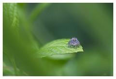 Between jumps (s1nano) Tags: spider jumpspider jumpingspider arachnides arachnophobia bug nikond7000 micronikkor200mm14 green bokeh dof leaf leaves nature aislens manualfocuslens oldmacrolens