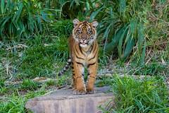 Debbie (ToddLahman) Tags: debbie teddy joanne sandiegozoosafaripark safaripark canon7dmkii canon canon100400 escondido tigers tiger tigercub tigertrail sumatrantiger babysumatrantiger