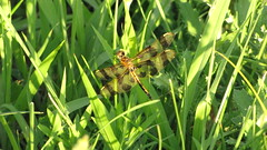 Halloween Pennant (swanie1241) Tags: halloweenpennant dragonfly insect outdoor celithemiseponina
