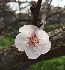I love spring, but OMG allergies  (sallysetsforth) Tags: melbourne tree garden spring apricot flower blossom