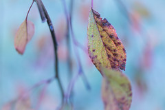autumn pastels (t1ggr) Tags: pastel dof softtones macro closeup autumn fall leaves plant colors