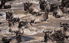 Communal bathing (Sue MacCallum-Stewart) Tags: kenya maasaimara wildebeest africa rivercrossing migration greatmigration nature wildlife