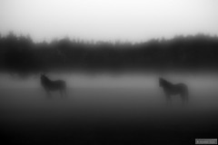 Fog (Anneke Jager) Tags: annekejager monochrome monochroom mood moody sfeer horses zwartwit blackandwhite outdoor canon mist nebel foggy fog