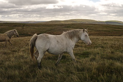 Rhymney and Bedwellty Common (Parishes of the Buzzard) Tags: pony horse horses landscape scenery scenic rural wales welsh rhymney valley abertysswg rhymneyandbedwelltycommon