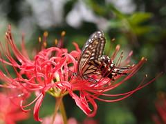 (Polotaro) Tags: mzuikodigital45mmf18 butterfly insect bug nature olympus epm2 pen zuiko          9  garden flower
