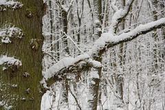 ckuchem-1624 (christine_kuchem) Tags: baumrinde buche bume eiche eis frost hainbuche natur pfad pflanzen ruhe samen spuren stille struktur wald weg wildpflanzen winter einsam kalt schnee ste