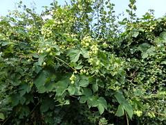 P1120022 (jrcollman) Tags: places humuluslupulushop europeincldgcanaries covehithe hophumuluslupulus britishisles suffolk