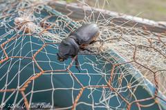 Snagged (umijin) Tags: arthropoda crb coconutrhinobeetle coconutrhinocerosbeetle coleoptera guahan guam hexapod insecta mangilao oryctesrhinoceros scarabbeetle scarabeidae territoryofguam uog usa universityofguam animal arthropod beetle insect net thing