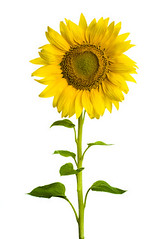 Sunflower (yuliabiliavska2) Tags: sunflower flower yellow nature summer plant sun petal color single leaf vibrant growth field head beauty sky green garden spring colored blue macro bed life closeup stem image backgrounds vegetable agriculture cheerful new farm object pollen pattern background bright multi seed beautiful formal daisy sunlight crop blossom love flowers ukraine