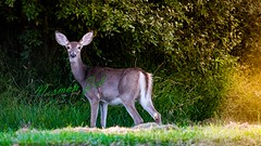 I See You! (a2roland) Tags: normanzeba2rolandyahoocoma2roland deer doe jane state park nj new jersey landscape wildlife natural nature scene ears eyes feet paws looking watching tail meat skin fur trees lighting diffusion green yellow sunset surprised