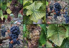 Wein ... soll das mal werden (julia_HalleFotoFan) Tags: weinbau weinbaugebiet saaleunstrut weinberg trauben winzer vitis strausenwirtschaft freyburg