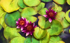 Water Lilies (SPP - Photography) Tags: flowers waterflower blossom ef100mmf28lmacroisusm waterlilies canon canon6d painting 100mm blossoms 6d flowersplants blooms twincities eos6d waterlily saintpaul comopark topazimpression2 marjoriemcneelyconservatory blooming topazsoftware macro100mm plants minnesota