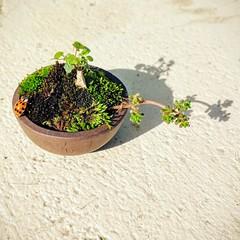 Mini (Social Reflex) Tags: mini plant succulents succulentes sedum plantes coccinelle ladybug moss