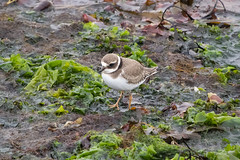Ringed Plover (zxgirl) Tags: 100400mm 7dmii crpl iceland animals birds coast nature overcast plants plovers seaweed shorebirds travel trip water garur southernpeninsularegion is misty s6a0127 bird wader waders shorebird animal animalia chordata aves charadriiformes charadriidae charadrius charadriushiaticula commonringedplover commonplover plover wadingbird taxonomy:binomial=charadriushiaticula shore