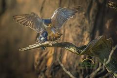 Heavenly Light (Scott Joshua Dere) Tags: falcon birdofprey captured morninglight perch raptor peregrinefalcon