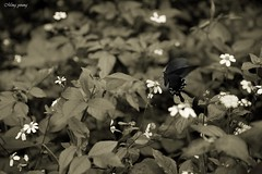 Late autumn (Ming_Young) Tags: butterfly flora autumn nantou taiwan 2470mm