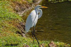 Great Egret_MG_0260 (918monty) Tags: greategret egret heron allentexas bethanylakespark colonialnestingbirds freshwater saltwaterhabitats acquatic bird wildlife