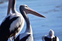 Pelicans chillin' (Luke6876) Tags: australianpelican pelican bird animal wildlife australianwildlife