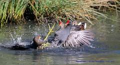Making A Splash.... (law_keven) Tags: moorhens birds avian londonwetlandcentre wetlandcentre wwt fighting splashing