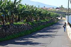 Banana Plantation (Snapjacs) Tags: tenerife canaryislands spain europe travel holidays vacations sunshine wintersun summer tropical leisure alone safe womanwalkingalone solo bananas agriculture plantation