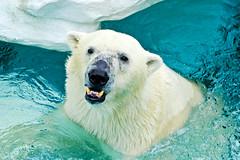 Female Polar Bear, Der of Ueno Zoo :  (Dakiny) Tags: 2016 autmn september japan tokyo taito ueno outdoor nature park uenopark zoo uenozoo creature animal mammal carnivore bear polarbear female der white nikon d7000 sigma apo 70200mm f28 ex hsm apo70200mmf28exhsm sigmaapo70200mmf28exhsm nikonclubit