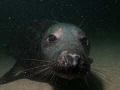 Seal 3 (MatYts) Tags: farne islands seals scuba diving divers encounters wildlife cute big eyes whiskers canon ikelite g15 north sea northumbria bsac