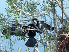 Anhinga  (Luis G. Restrepo) Tags: p2050683 patoaguja anhinga anhingaanhinga anhingidae sawgrasslakepark stpetersburg florida usa northamerica