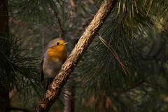 The European robin (Erithacus rubecula) (Aleoko) Tags: fotocompetitionbronze fotocompetition